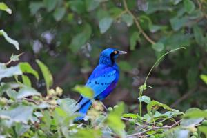 Eritrean Bird - Blue colored bird